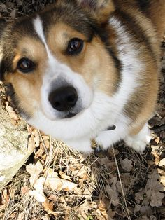 You Can Read My Mind - Ruffi, the Pembroke Welsh Corgi, casting his corgi-treat spell | Flickr - Photo Sharing! by Miki Ekebom