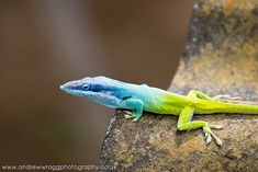 Cuban Blue Knight Anole Lizard by Andrew Wragg, via Flickr
