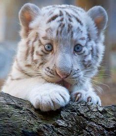 25 Fotos de animales bebés que te derretirán el corazón - Bebé tigre albino sobre un tronco de un árbol Sie sind an der richtigen Stelle für diy home deco - Baby White Tiger, White Tiger Cubs, White Tigers, Baby Blue, White Lions, Nature Animals, Animals And Pets, Funny Animals, Wild Animals