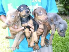 Hope to one day have all these. Fawn, black, red, and blue doberman. Only one missing is a white one. Blue Doberman, Doberman Puppies, Doberman Pinscher Puppy, Doberman Love, Baby Puppies, Dogs And Puppies, African Wild Dog, Hunting Stuff, Puppy Names