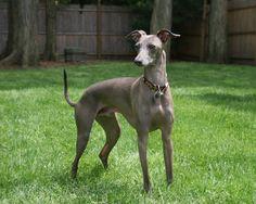 greyhound | Italian Greyhound