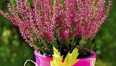 Wrzos to niewątpliwie symbol jesieni. Kwiaty jesienne Plants, Plant, Planets