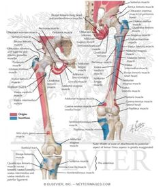 Netters Anatomy - Bony Attachments of Buttock and Thigh Muscles