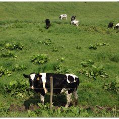 Cow grazing in Woodstock, CT