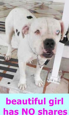 TIFFIANY (A1812111) I am a female white and brown brindle American Bulldog. The shelter staff think I am about 3 years old. I was found as a stray and I may be available for adoption on 09/02/2016. Miami Dade https://www.facebook.com/urgentdogsofmiami/photos/a.477521308948944.116125.191859757515102/1275374992496901/?type=3&theater