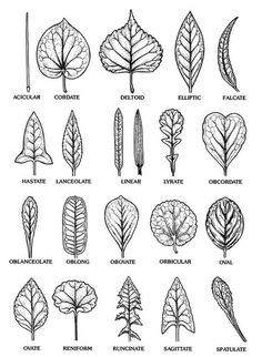 leaf shapes for drawing or painting leaves - great for fall art projects Drawing Lessons, Art Lessons, Drawing Guide, Documents D'art, Ink Tatoo, Blatt Tattoos, Art Handouts, Art Worksheets, Autumn Art