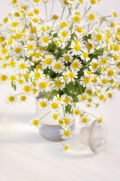 """""""Chamomile flowers resemble little suns,"""" says Pellegrini. """"You can snip off a few buds at a time for your tea."""" These delicate-looking flowers do require a bit more sunlight, so stick them by a window and you're good to go."""