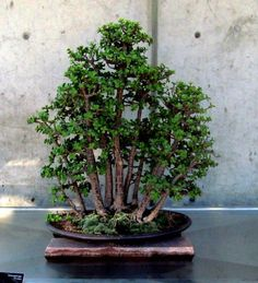 Denver Botanic Gardens 2013 Fall Bonsai Show Here we have nice picture about bonsai denver. We wish these photos can be your the inspirati. Jade Plant Bonsai, Jade Plants, Bonsai Plants, Bonsai Garden, Garden Trees, Bonsai Pruning, Tree Pruning, Mini Bonsai, Indoor Bonsai