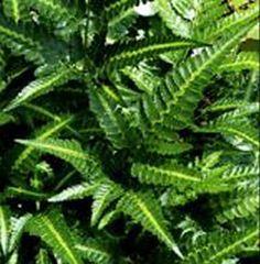 <i>Arachniodes simplicior</i> East Indian Holly Fern plug £3.25