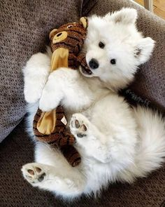 Samoyed Dog is one of the most beautiful dog breeds ❤ # dogs . - Samoyed Dog is one of the most beautiful dog breeds ❤ # dogs …, breeds - Most Beautiful Dog Breeds, Samoyed Dogs, Labradoodle Puppies, Mastiff Puppies, Collie Puppies, Boxer Puppies, Rottweiler Puppies, Retriever Puppies, Chihuahua Dogs