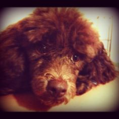 A poodle puppy ... Dog training portal... not just for #poodles http://dogtrainingvideos...