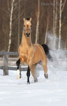 This May Not be One of My Favorite Breeds, But Gosh, This is Good Lookin' Buckskin! Beautiful Horse Pictures, Most Beautiful Animals, Beautiful Creatures, Akhal Teke Horses, Friesian, Buckskin Horses, Palomino, Dun Horse, Majestic Horse
