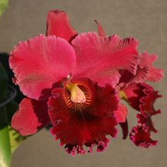 Red Orchids, Orchid Flowers, Red Flowers, Cattleya Orchid, Pretty Shoes, Irises, Lily, Gardens, Artist