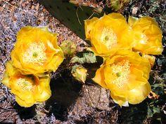 Opuntia engelmannii flowers, along the trail to Granite Mountain, Arizona