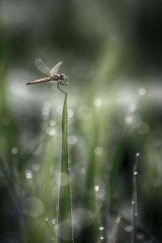 dragonfly. by amelia