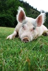 Lulu is an adoptable Pig (Farm) Pig (Farm) in Jacksonville, OR. Lulu is a young Yorkshire pig transferred to the Sanctuary from Pigs Peace Sanctuary in Stanwood, Washington. When she's happy, this lit...
