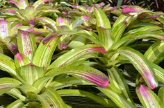 Bromeliad foliage with pink tips. (Sunshine Bromeliads in Florida).