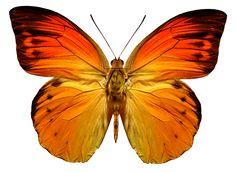 Bright Orange Butterfly Decal by WilsonGraphics on Etsy Butterfly Images, Orange Butterfly, Butterfly Wings, Butterfly Painting, Butterfly Watercolor, Dot Painting, Watercolour, Beautiful Bugs, Beautiful Butterflies