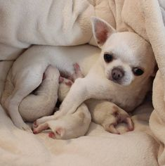 Good little mommy. #chihuahua