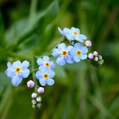 Forget-me-nots: tiny flower, can be blue or pink depending on the acidity of the soil