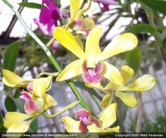 Dark Blue Dendrobium Orchids | interaction betweena dark septate endophytic isolate from journal of ...