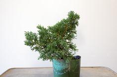 Distinguishing vigorous growth from healthy growth in #bonsai