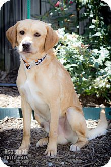 Plano, TX - Golden Retriever Mix. Meet Richard, a dog for adoption. http://www.adoptapet.com/pet/11396503-plano-texas-golden-retriever-mix