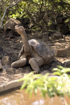 #Galapagos giant tortoise on Floreana island, we have daily departures to visit these gentle giants #galapagossolymar www.hotelsolymar.com.ec
