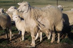 7 Best Down on the farm images   Down on the farm, Sheep