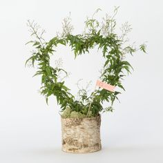 Potted Jasmine Heart Wreath in New SHOP Valentine's Day at Terrain Flora Botanica, Holly Brown, Indoor Plants, Indoor Gardening, Potted Plants, Valentine Gifts, Valentine Hearts, Holiday Gifts, Heart Wreath