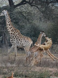 Thrilling wildlife sightings to inspire a trip in 2019 - Wild Card Tanzania, Kenya, Wild Park, Peace Pictures, Namib Desert, In 2019, Giraffes, Pumping, Africa Travel