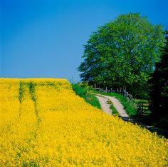 Svensk sommar med blommande rapsfält.