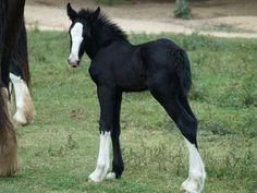 Spence Farms, Shire Horses, Gypsy Horses, Drum Horses, Horses for ...