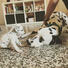 Dalmatian and her puppy
