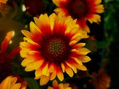 Gaillardia /ɡeɪˈlɑrdiə/,[2] the blanket flowers,[3] is a genus of flowering plants in the sunflower family, Asteraceae, native to North and South America. It was named after an M. Gaillard de Charentonneau,[4][5] an 18th-century French magistrate who was a patron of botany. The common name may refer to the resemblance of the inflorescence to the brightly patterned blankets made by Native Americans, or to the ability of wild taxa to blanket the ground with colonies.[6]