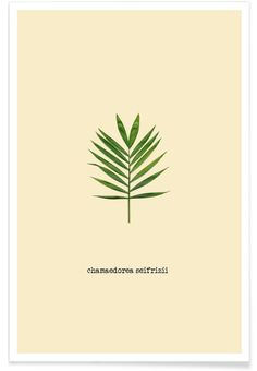 Chamaedorea Seifrizii as Premium Poster by Ingrid Beddoes | JUNIQE