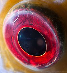 red fish eye