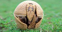 """O mascote da Copa, o tatu-bola (""""Tolypeutes tricinctus""""), que hoje é classificado como """"vulnerável"""", será rebaixado para a categoria """"em perigo de extinção"""" em 2013. Segundo escala usada pela IUCN, o risco de extinção do mamífero, que já era considerado alto, passa a ser considerado muito alto. A vice-presidente do grupo de pesquisa sobre Xenartros (tatus, tamanduás e preguiças) da IUCN, a brasileira Flávia Miranda,  disse que a espécie perdeu mais de 50% de seu habitat nos últimos dez anos."""