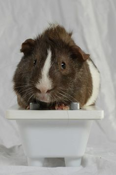 guinea pig tips  guinea pig basics  guinea pig care   by Kelly Daspit  guinea pig cage