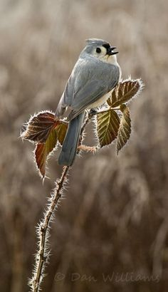 Tufted titmouse.- sitting on a frosted limb in winter..
