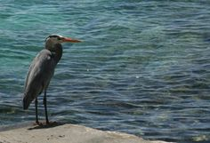 Google Image Result for http://media.treehugger.com/assets/images/2011/10/galapagos-great-blue-heron-water-photo.JPG