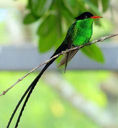 National Bird - The Doctor Bird (Trochilus polytmus)
