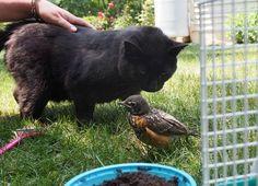 Pettirosso fa amicizia con due gatti: la strana storia che ricorda Sepulveda (foto)