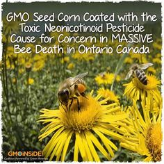 GMO Seed Corn Coated With The Toxic Neonicotinoid Pesticide Cause For Concern In MASSIVE Bee Death In Ontario Canada. http://www.cornucopia.org/2013/07/bees-dying-by-the-millions/