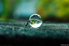 ant rolling a water drop