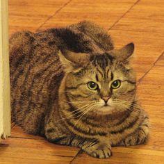 #dashkathecat #cat #villain #wild #huntress #дашка #коридорная #кошка #беготня #хищная #котохотник #жиркот #fatcats
