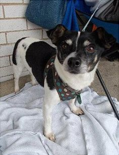 Tippy -- Chihuahua mix -- Male -- 10 lbs -- 6 years -- Tri-colored --Tippy's picture shows a confused dog having just arrived at our vet's office following a brief stint at a local shelter. He was dropped off by the owners because he was too...