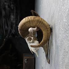 Résultats de recherche d'images pour «ram skull side view»