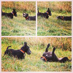 "Luna trying to get Cooper to roll around with her. ""Come on lil Scotty, it's a blast!"" #evasplaypupspa #dogs #dogcamp #doggievacays #sillypooch #grassstain #blackbeauty #scottiesofinstagram #badassbk #adoptdontshop #rescuedog #wireypup #autumn #sweaterweather #adoptdontshop #badassbk #rescuedog #endlessmountains #mountpleasant #PA #pennsylvania"