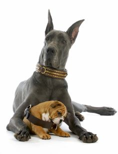 Confident #GreatDane with Brass Overlock #DogCollar and #Bulldog #puppy chewing on a boring old dog collar